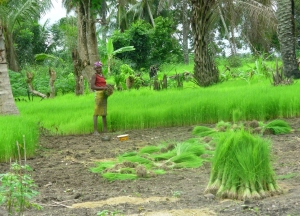 Cutting newly germinated rice in rice nursery to transplant in rice swamp.