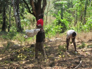 Boys catch grapefruits being picked.
