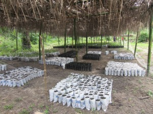 Oil palm, teak, citrus, guava and mango seedlings are shielded from the hot sun.