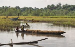 Bumpeh Chiefdom rice harvest