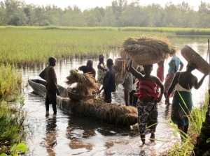 Unloading rice to the threshing floor