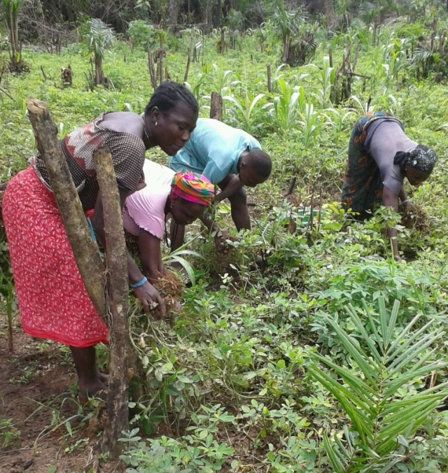 Veg - Groundnut harvesting3