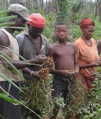 Veg - grountnut harvesting 2